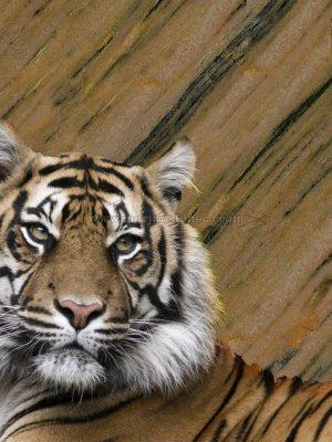 PERSIAN TIGER MARBLE